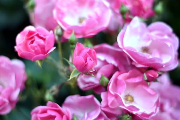 Sommerbepflanzung Rosen