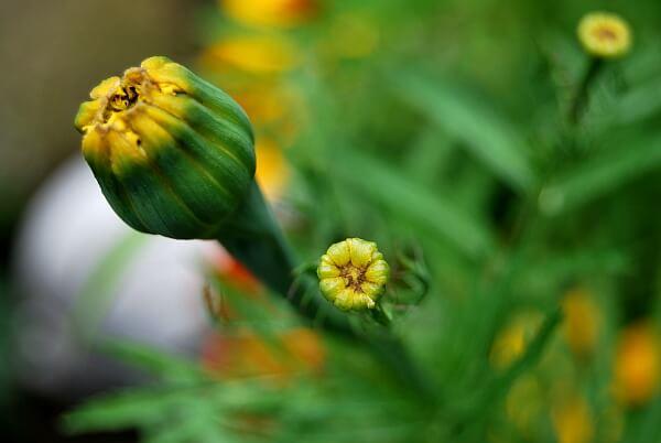Tagetes Blütenknospen