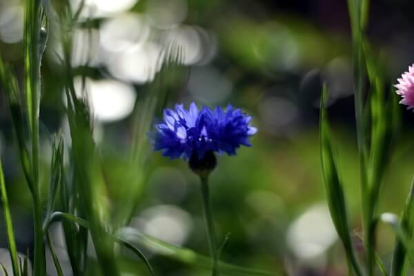 Ruderalpflanzen Kornblumen