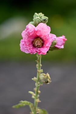 rosa Stockrose im Vorgarten