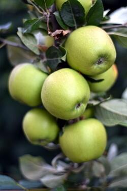 Garten im Herbst - Äpfel