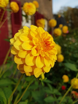 Garten im Herbst - Dahlie