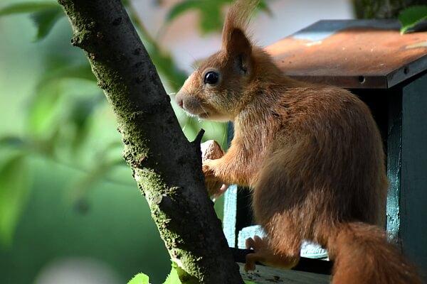 Eichhörnchen in den Garten locken