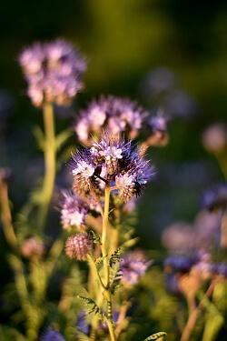 Bienenfreund als Gründünger