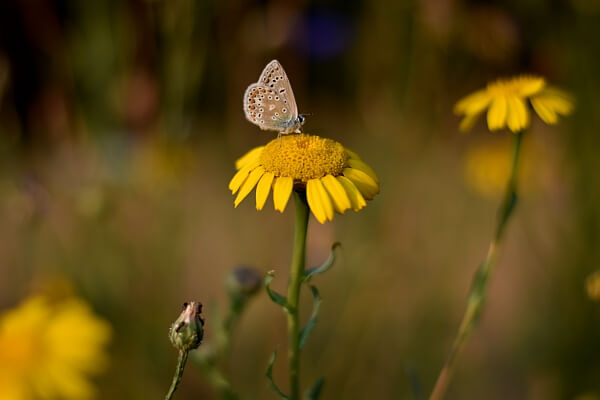 Insektensterben Wildblumenwiese