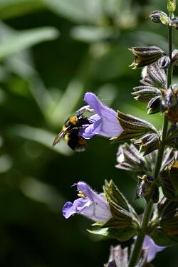Salbei Blüte mit Wildbiene
