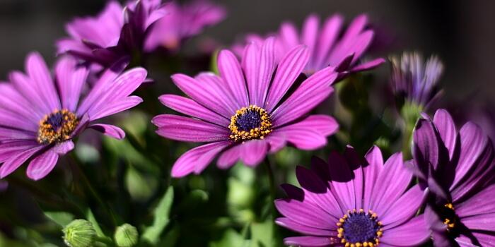 Balkonpflanzen mit lila Blüten - Kapkörbchen