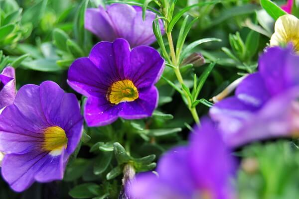 Balkonpflanzen mit lila Blüten - Zauberglöckchen