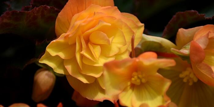 Balkonpflanzen mit organgen Blüten