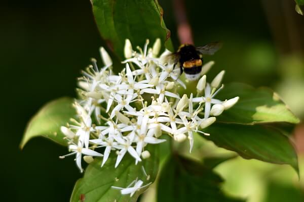 Hartriegel mit Insekt an den Blüten