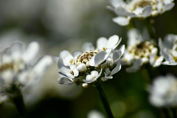 Immergrüne Schleifenblume