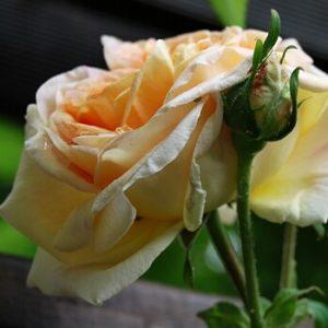 Rose an einer Rankhilfe