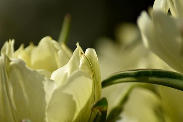 Weiße Tulpen im Garten