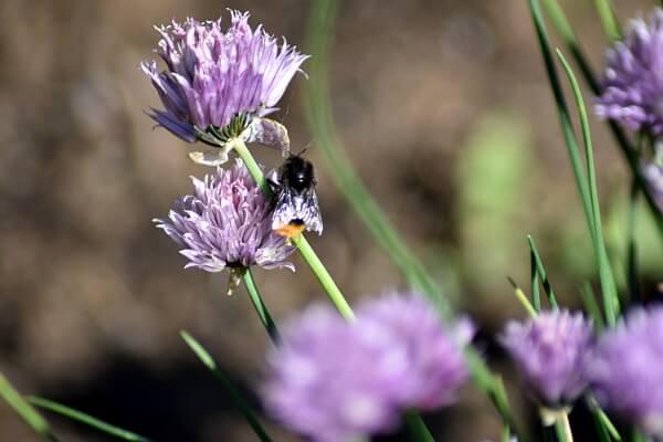 Bienenfreundlicher Garten - Wildbiene auf einer Schnittlauchblüte