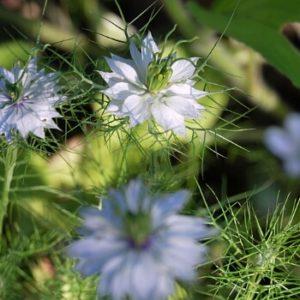 Einjährige Pflanzen - Jungfer im Grünen