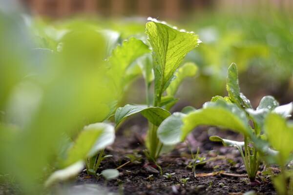 Radieschen im Gemüsebeet