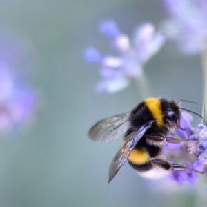 Bienensterben - Wildbiene auf Lavendel