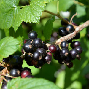 Schwarze Johannisbeeren im Garten