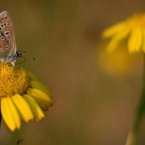 Wildpflanzensaatgut für Wildwiese - Schmetterling