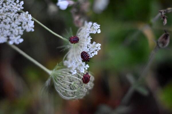 Blühende Wilde Möhre mit Wanzen