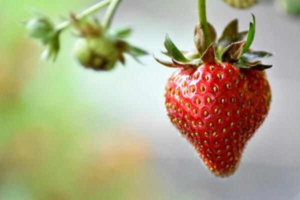 Gartenarbeit im Juni - Erdbeeren