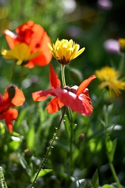 Gartenarbeit im Juni - Mohn und Ringelblumen