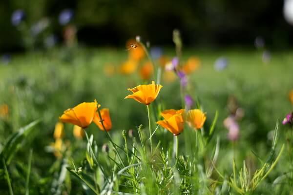 Gartenarbeit im Juni - Wildblumenwiese