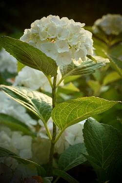 Gartenarbeit im Juli - Hortensie