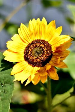 Gartenarbeit im Juli - Sonnenblume