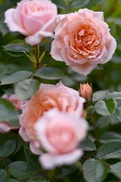 Gartenarbeit im August - Rosen