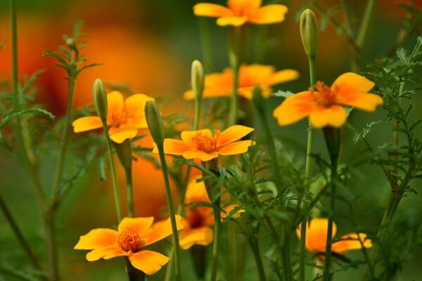 Gartenarbeit im August - Tagetes