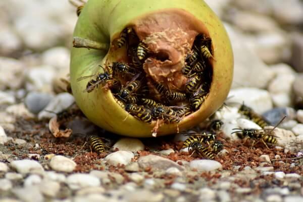 Gartenarbeit im September - Wespen auf Fallobst