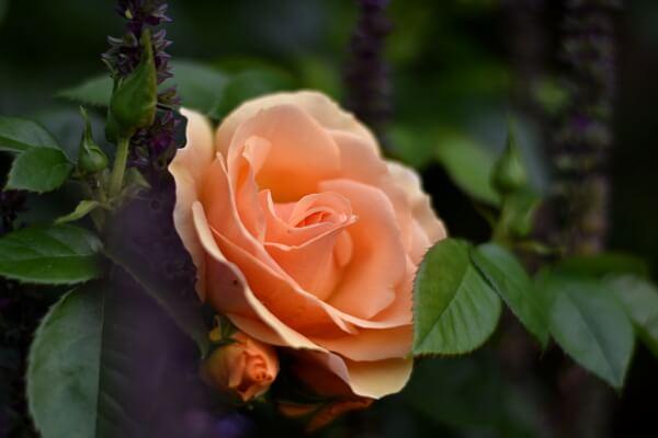 Gartenarbeit im Oktober - Rosen